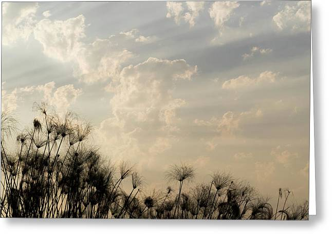 Sunrays Above Papyrus Plants, Okavango Greeting Card by Panoramic Images