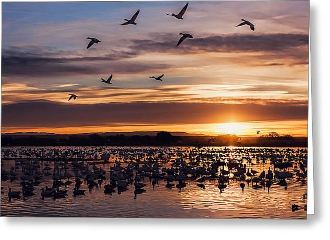 Sunrise - Snow Geese - Birds Greeting Card by Shara Lee