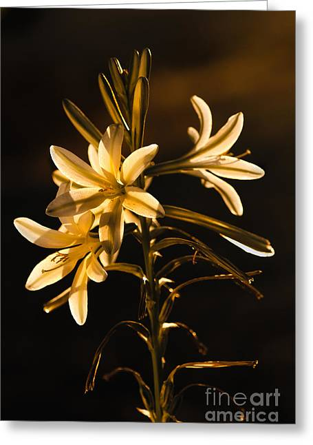 Haybale Greeting Cards - Sunrise Ajo Lily Greeting Card by Robert Bales