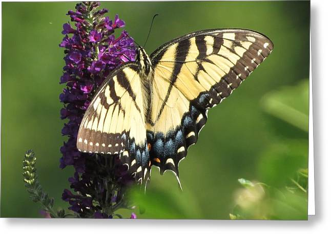 Zinna Greeting Cards - Sunrise Beauty Tiger Butterfly Greeting Card by Rebecca Overton