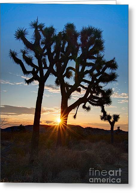 Solar Flare Greeting Cards - Sunrise Burst - Joshua Trees beautifully lit Joshua Tree National Park. Greeting Card by Jamie Pham