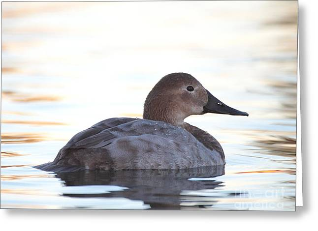 Ruth Jolly Greeting Cards - Sunrise canvasback Greeting Card by Ruth Jolly