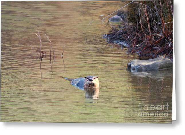 Otter Greeting Cards - Sunrise Otter Greeting Card by Mike Dawson