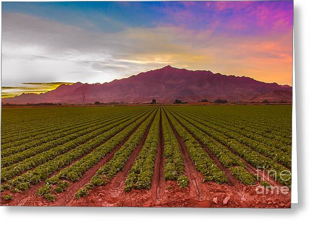 Rill Greeting Cards - Sunrise Over Lettuce Field Greeting Card by Robert Bales