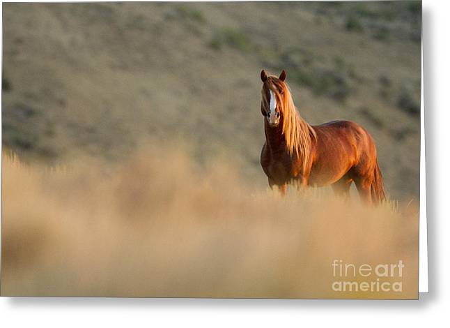 Wild Horse Greeting Cards - Sunrise Stallion Greeting Card by Carol Walker