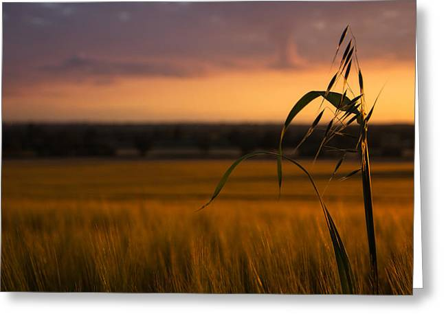 Green Blade Of Grass Greeting Cards - Sunset admirer Greeting Card by Chris Fletcher
