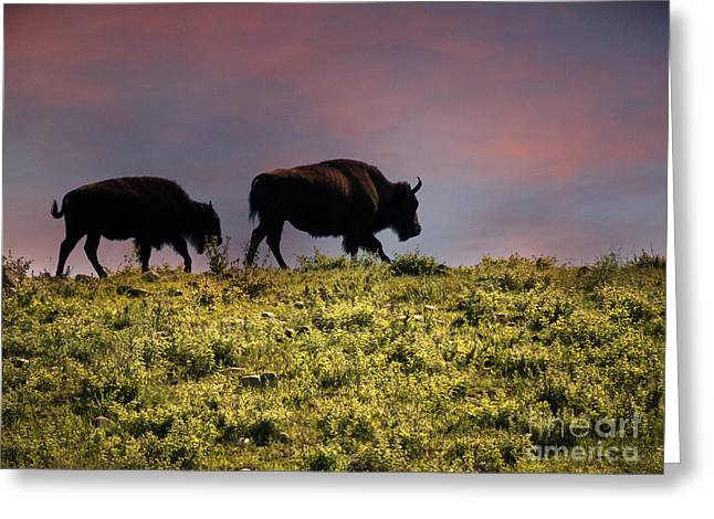 Little Big Horn Photographs Greeting Cards - Sunset American Bison Greeting Card by Brenda Kean
