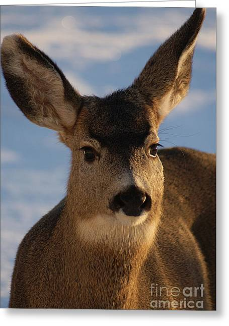 British Portraits Greeting Cards - Sunset Doe Greeting Card by Stanza Widen