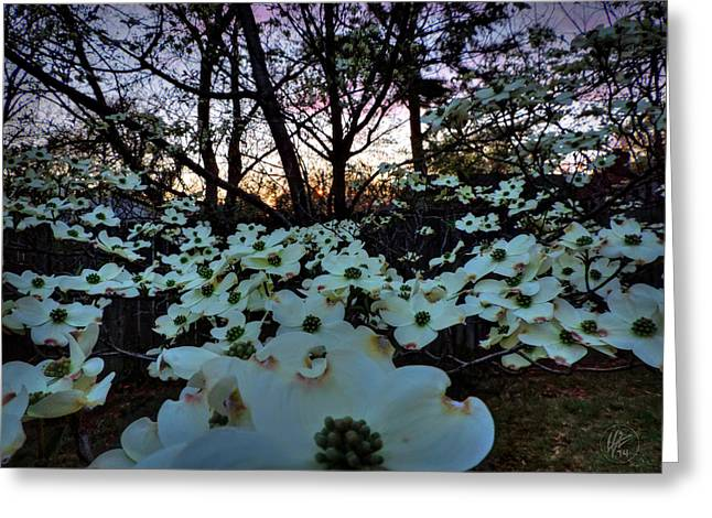 Bract Greeting Cards - Sunset Dogwood 001 Greeting Card by Lance Vaughn