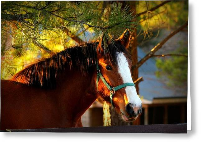 Quarter Horse Greeting Cards - Sunset Horse Greeting Card by Reid Callaway