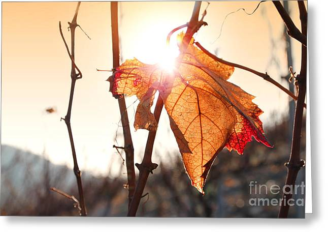 Close Focus Nature Scene Greeting Cards - Sunset on leaf in vineyard Greeting Card by Gregory DUBUS