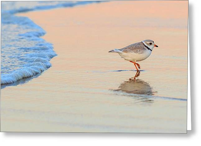 Piping Greeting Cards - Sunset Piping Plover Greeting Card by Bill  Wakeley