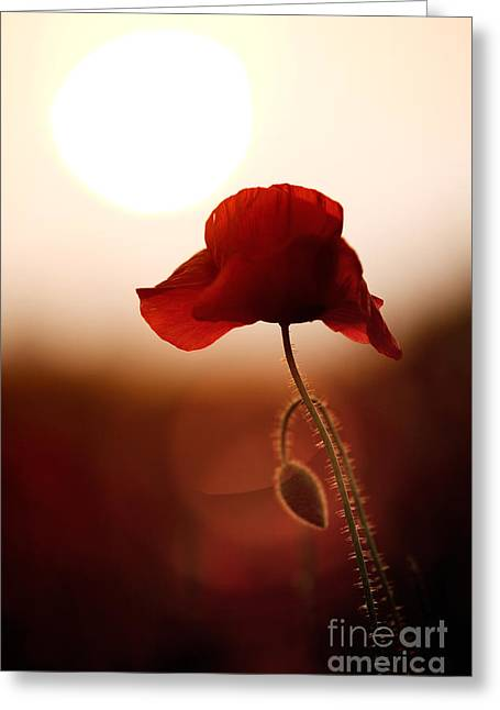Emerging Greeting Cards - Sunset Poppy Greeting Card by Tim Gainey