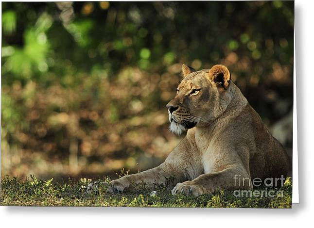 Lioness Greeting Cards - Sunset Queen Greeting Card by Adrian Tavano