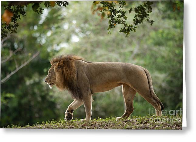 D700 Greeting Cards - Sunset Stroll - African Lion Greeting Card by Adrian Tavano