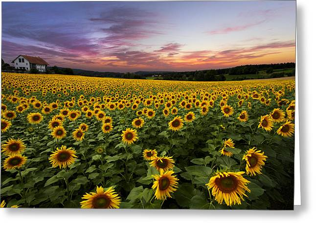 Swiss Photographs Greeting Cards - Sunset Sunflowers Greeting Card by Debra and Dave Vanderlaan
