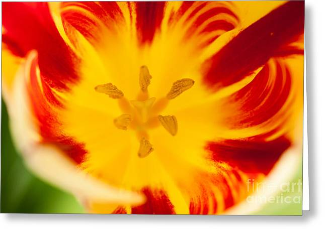 Flower Blooms Greeting Cards - Sunset Tulip Greeting Card by Ana V  Ramirez