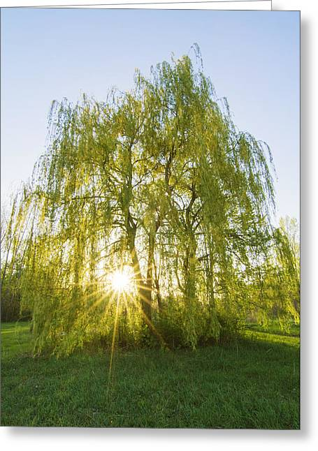 Quebec Scenes Greeting Cards - Sunset Willow Greeting Card by Mircea Costina Photography