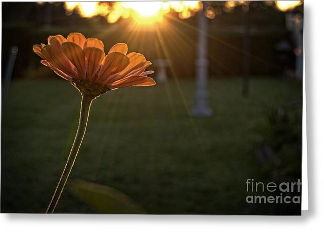 Zinnia Elegans Greeting Cards - Sunset Zin Greeting Card by Chris Fleming