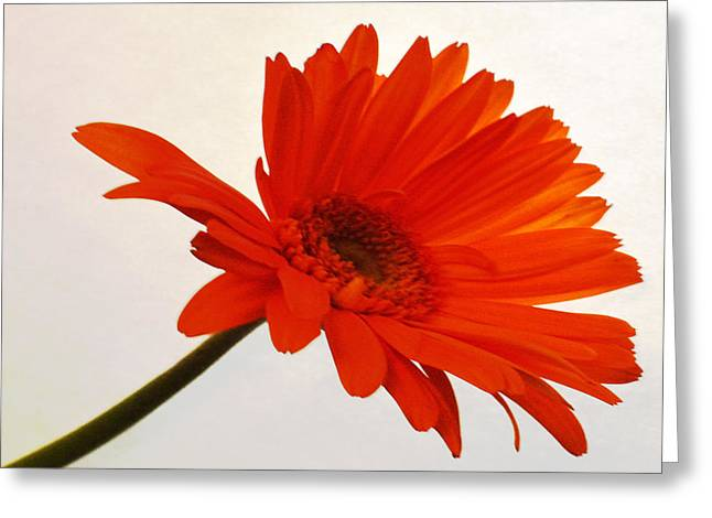 Sunburst Floral Still Life Greeting Cards - Sunset Zinnia Greeting Card by Sherry Allen