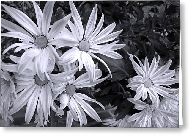 Rose Petals Greeting Cards - Sunshine and Shadow Black and White Greeting Card by Barbara McDevitt