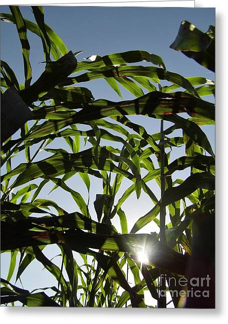 Corn Maze Greeting Cards - Sunshine In The Corn Field Greeting Card by D Hackett