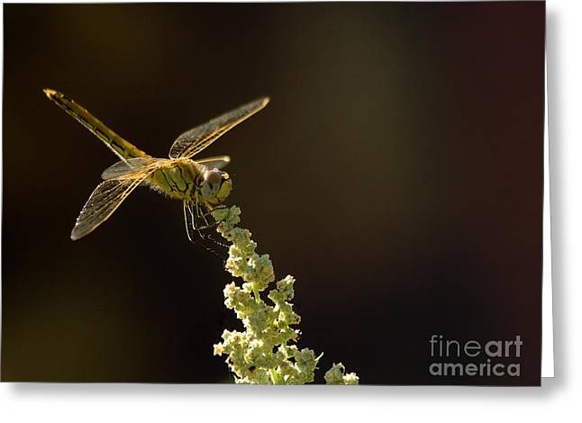 Dragonfly Eyes Greeting Cards - Sunshine on a landed Dragonfly. Greeting Card by Leyla Ismet