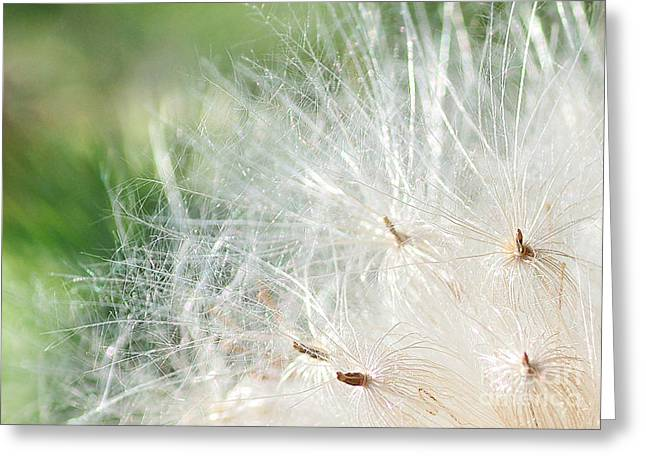Sunlight On Flowers Greeting Cards - Sunshine on Thistle Seeds Greeting Card by Kaye Menner