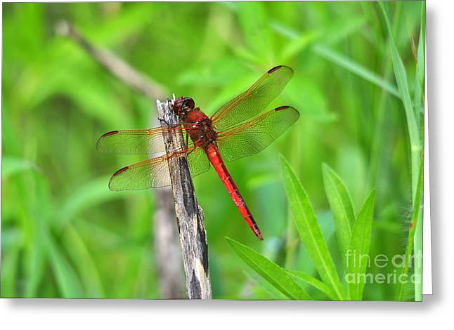 Dragon Fly Photo Greeting Cards - Superb Skimmer Greeting Card by Al Powell Photography USA
