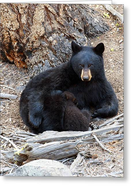 Feeding Time Greeting Cards - Supper Time Black bear cub Greeting Card by Gary Langley
