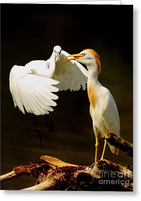 Cattle Egret Greeting Cards - Suprised Cattle Egret Greeting Card by Robert Frederick