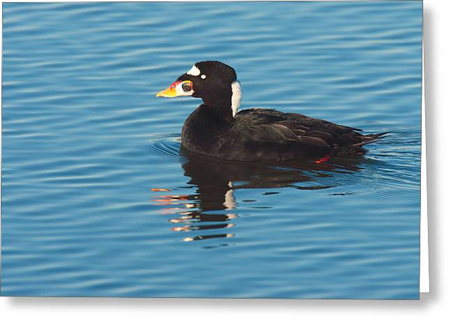Zoology Greeting Cards - Surf Scoter - Huntington Beach California Greeting Card by Ram Vasudev