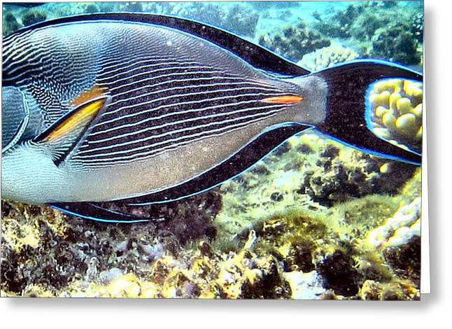 Undersea Photography Digital Art Greeting Cards - Surgeon fish Greeting Card by Roy Pedersen