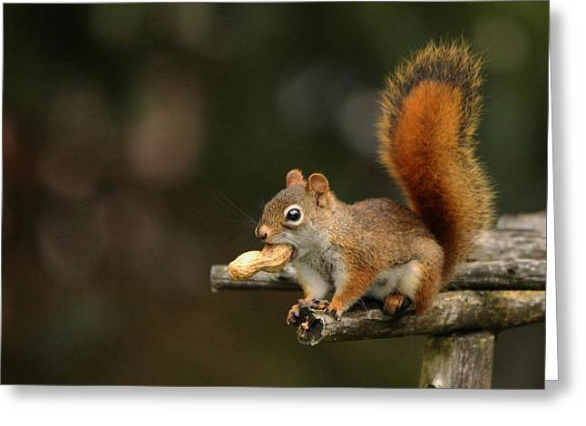 Surprise Greeting Cards - Surprised Red Squirrel With Nut Portrait Greeting Card by Debbie Oppermann