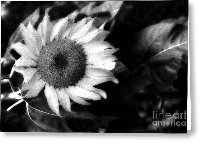 Flower Photos Greeting Cards - Surreal Haunting Black and White Sunflower Greeting Card by Kathy Fornal