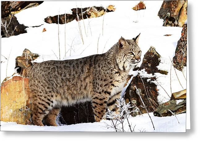 Bobcats Greeting Cards - Surveying the Hunting Field Greeting Card by Dennis Hammer