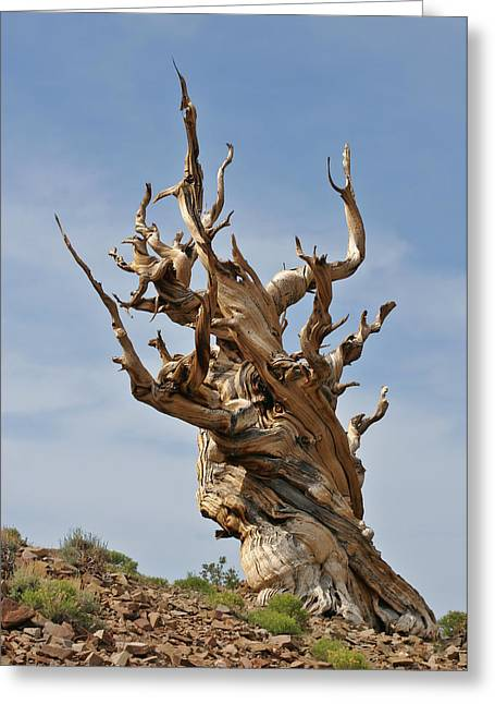 Intense Greeting Cards - Survival Expert Bristlecone Pine Greeting Card by Christine Till