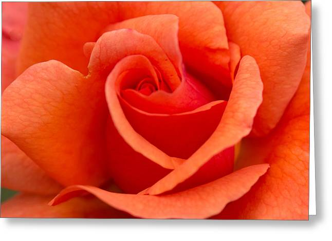 Tangerine Greeting Cards - Suzannes Rose Greeting Card by Cathy Donohoue