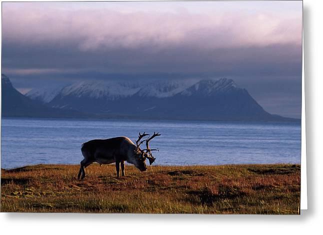 Svalbard Reindeer Grazing Near The Sea Greeting Card by Norbert Rosing