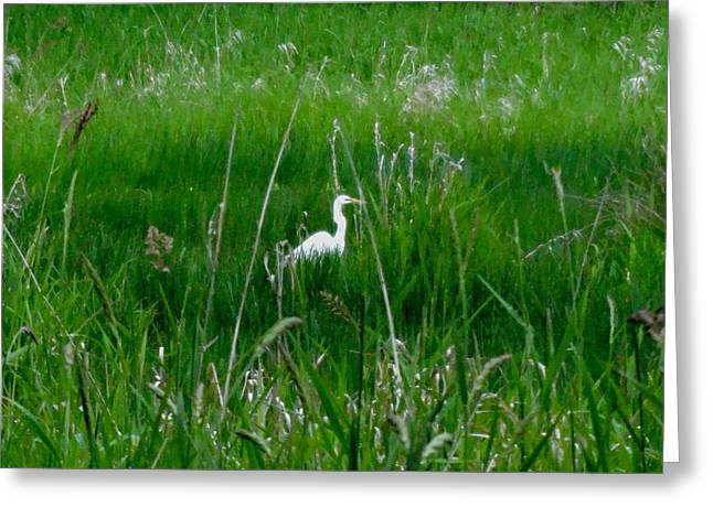 Great Neck Long Island Greeting Cards - Svelte Looking Snow Egret Greeting Card by Lizbeth Bostrom