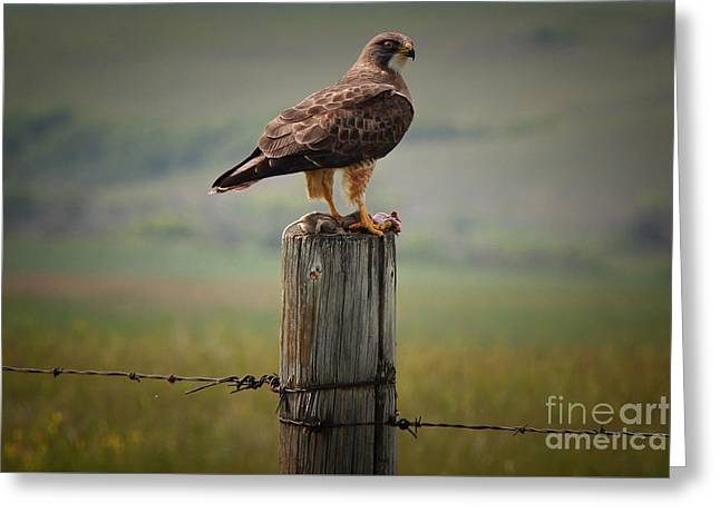 Cypress Hills Provincial Park Greeting Cards - Swainsons Hawk Greeting Card by Vickie Emms