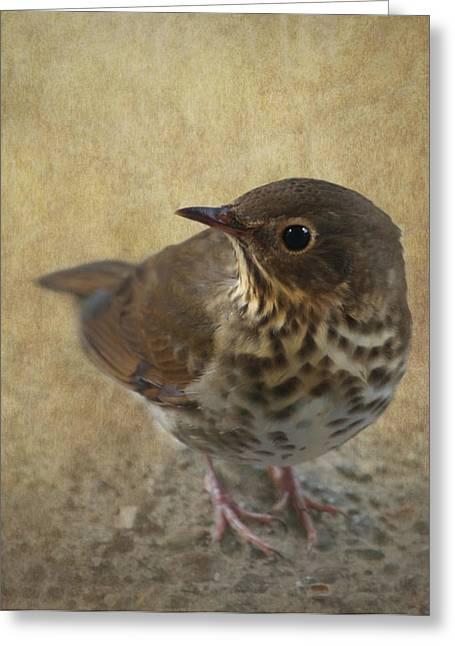 Thrush Greeting Cards - Swainsons Thrush Greeting Card by Angie Vogel
