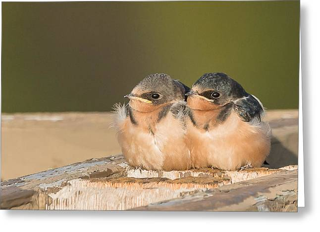 Swallow Chicks Greeting Card by Yeates Photography
