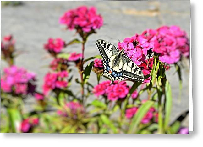 Dave Woodbridge Greeting Cards - Swallow Tail Greeting Card by Dave Woodbridge
