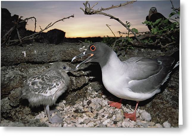 Swallow-tailed Gull And Chick In Pebble Greeting Card by Tui De Roy