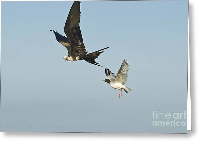 Swallow Tail Greeting Cards - Swallow-tailed Gull Chasing Great Greeting Card by William H. Mullins