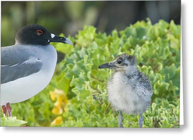 Swallow Tail Greeting Cards - Swallow-tailed Gull Chick And Adult Greeting Card by William H. Mullins