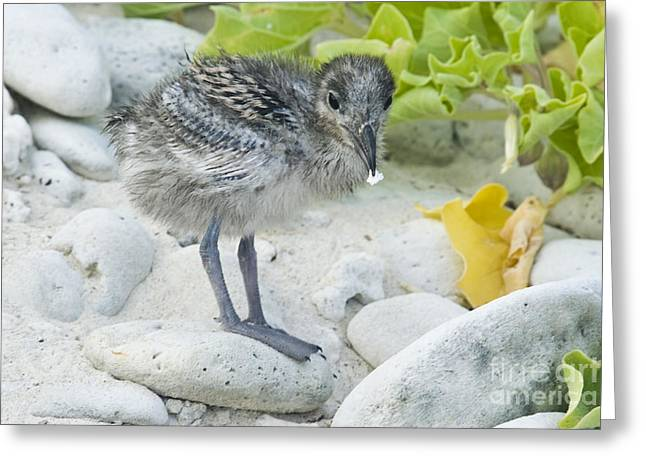 Swallow Tail Greeting Cards - Swallow-tailed Gull Chick Greeting Card by William H. Mullins