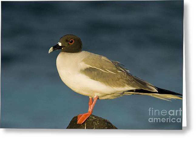 Swallow Tail Greeting Cards - Swallow-tailed Gull Greeting Card by William H. Mullins