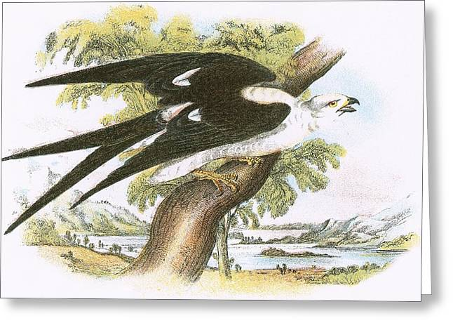 Kite Greeting Cards - Swallow-tailed Kite Greeting Card by English School